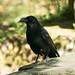 Carrion Crow  19