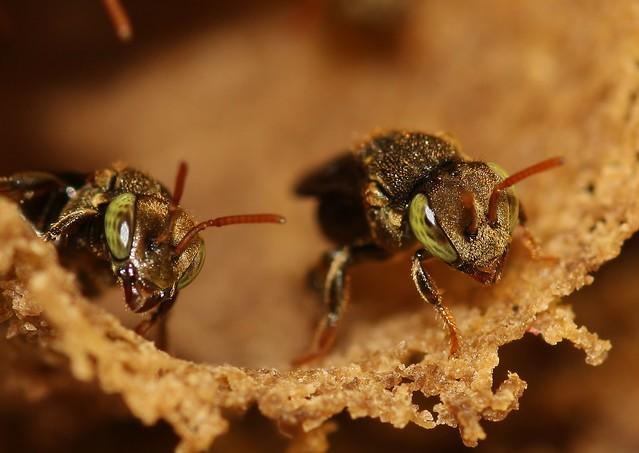 Social stingless bees