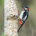 Great spotted woodpecker - Grote bonte specht by Roland B43