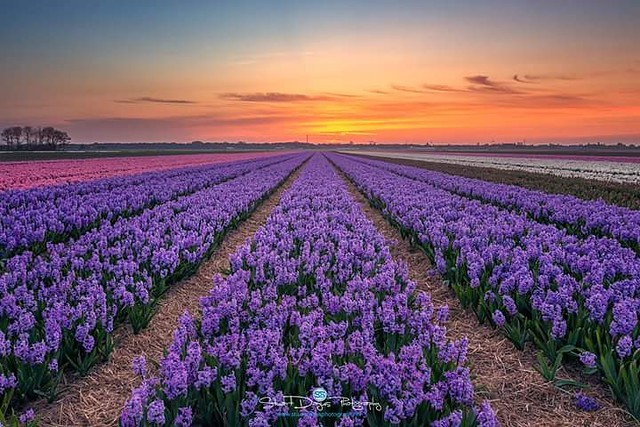 Bulb fields in North-Holland
