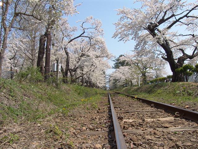 The sakura tunnel