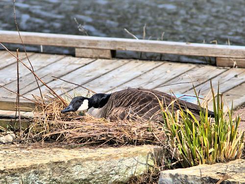 Canada Goose nesting 03-20180423
