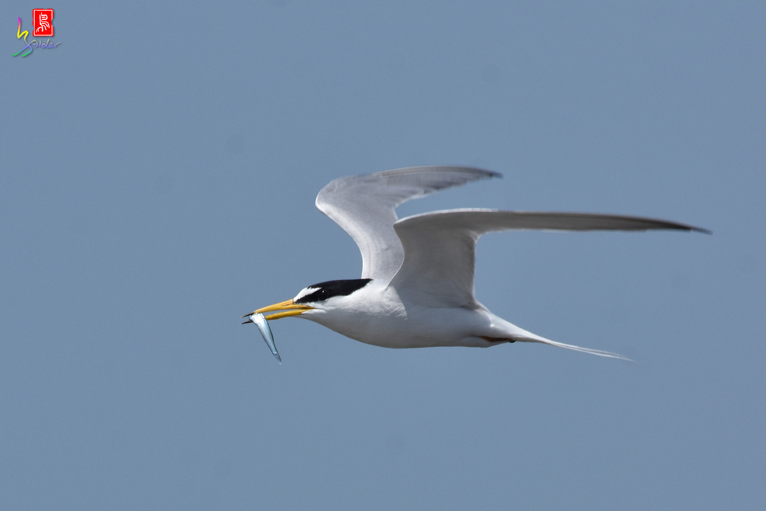 Little_Tern_8861
