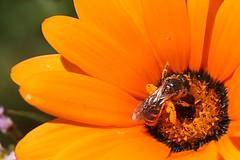 The orange bee