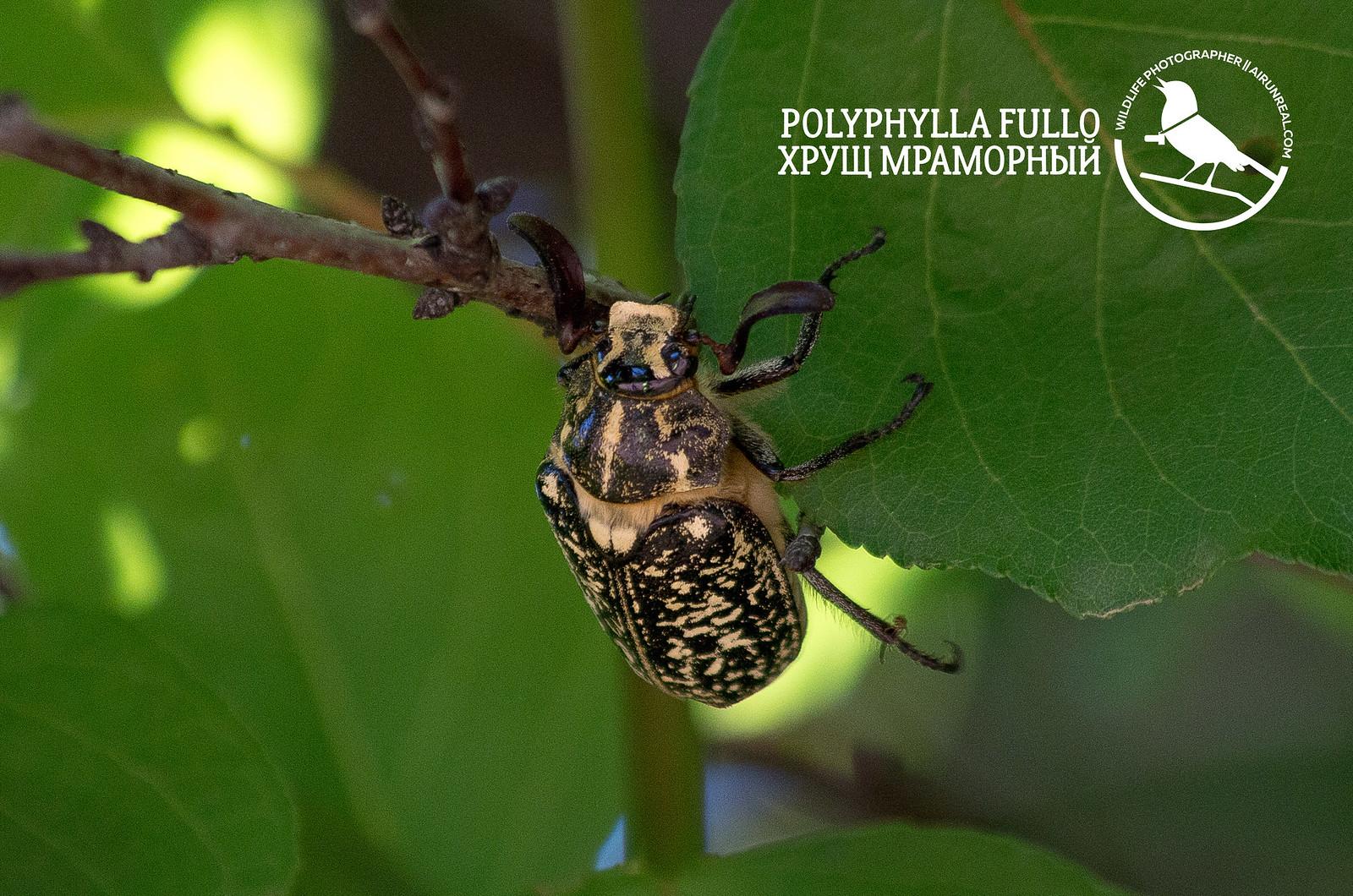 Polyphylla fullo // 20180512