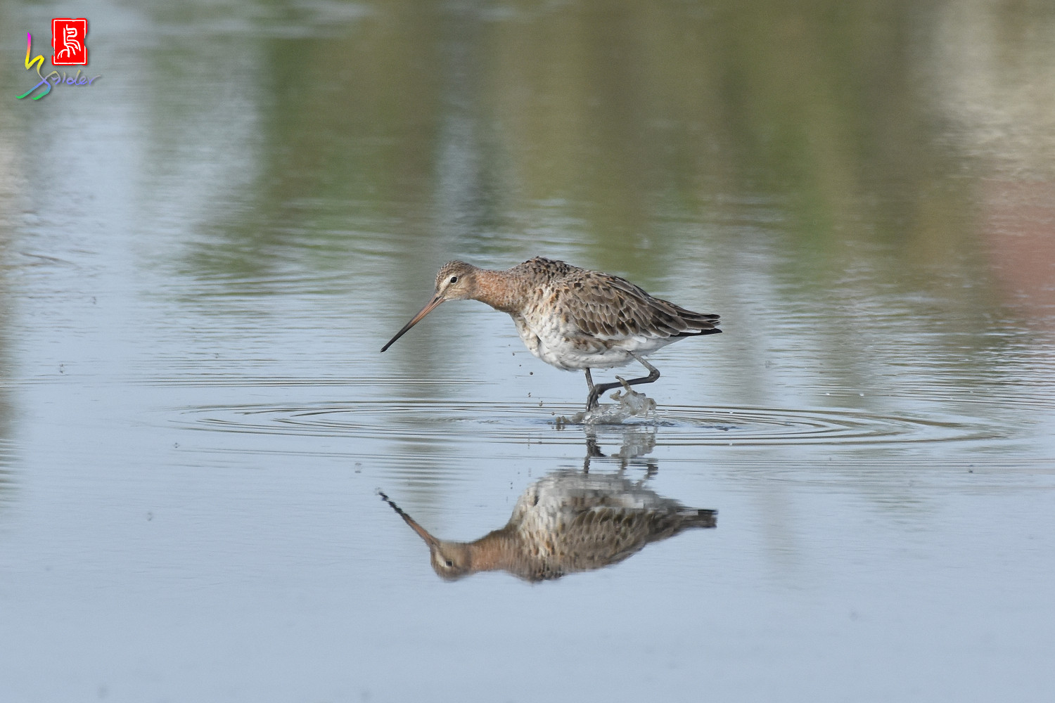 Black-tailed_Godwit_6669