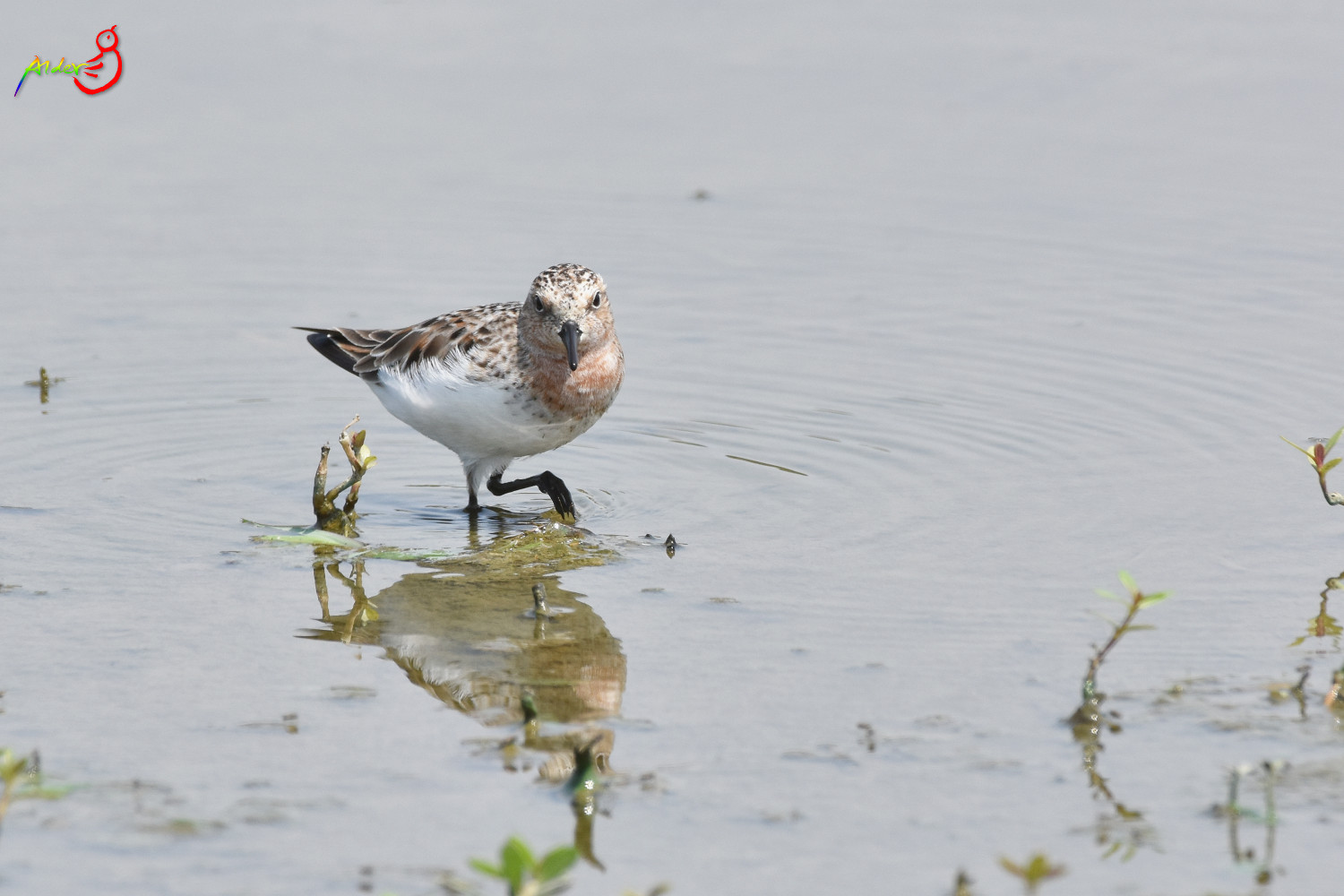 Red-necked_Stint_5701