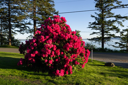 Samish Island Rhododendrons-006