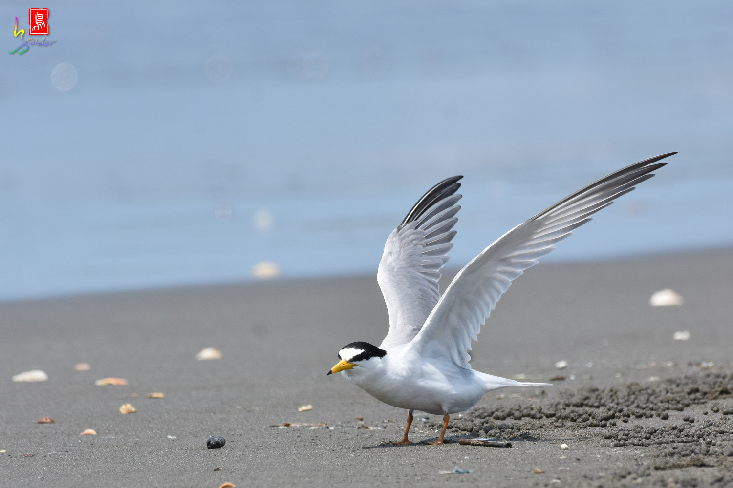 Little_Tern_4992