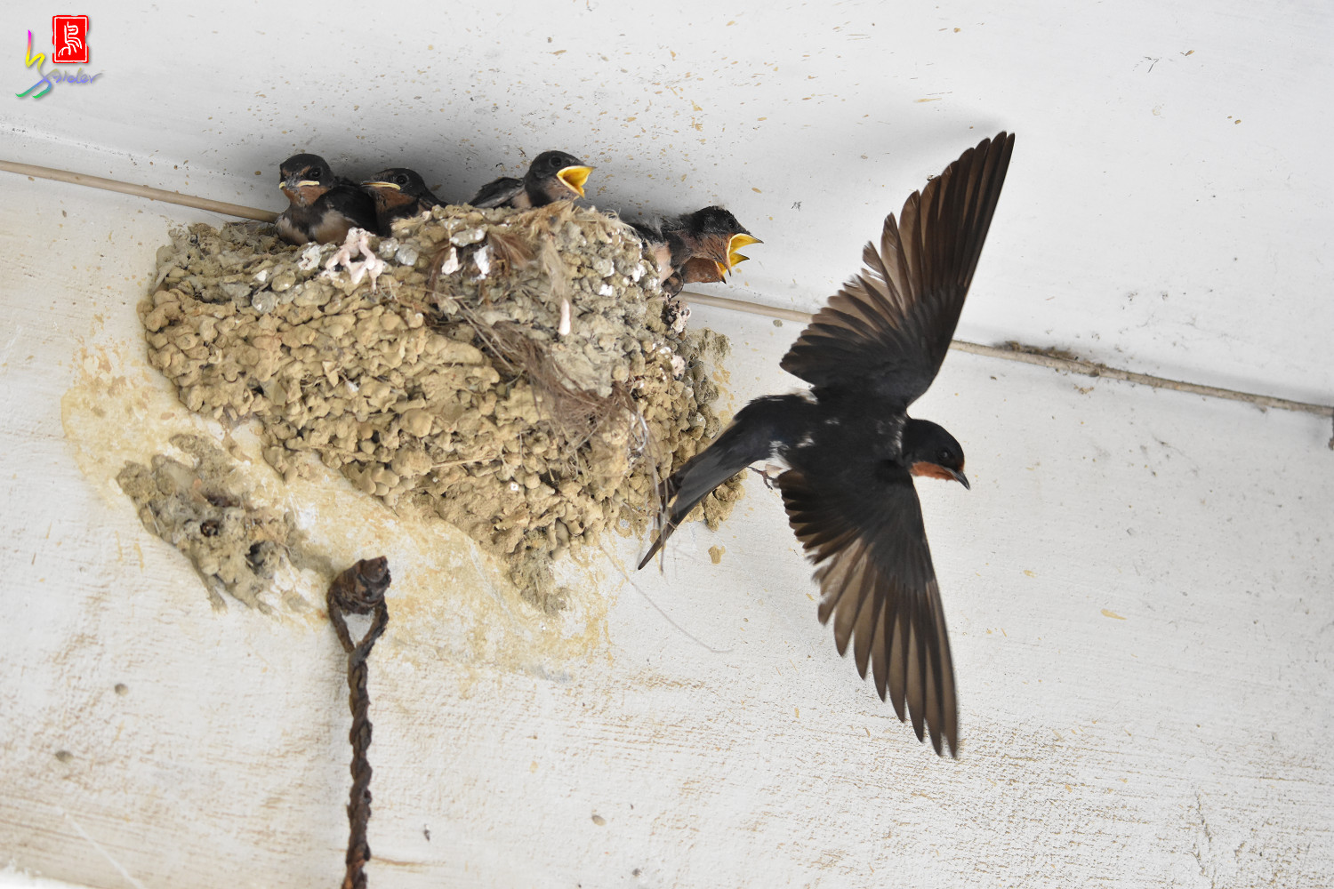 Barn_Swallow_7861