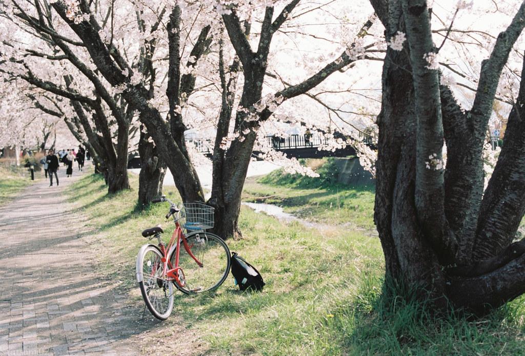 2018-05-20 桜と赤い自転車 001