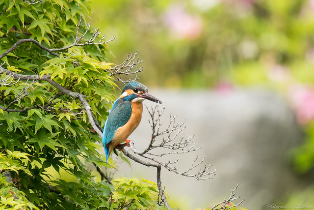 20180503-kingfisher-DSC_1016