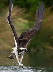 Osprey 10 Rutland Water