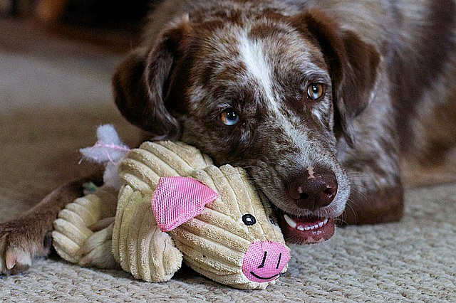 イタズラをせずにおもちゃで遊んで褒められる犬