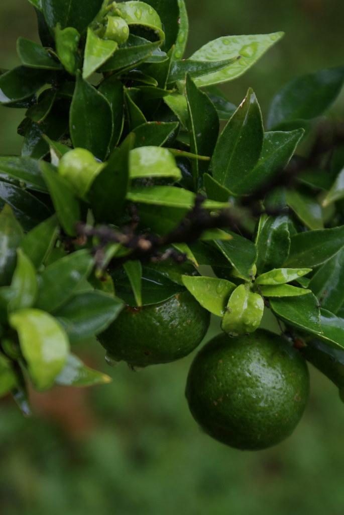 Citron vert début mai au jardin botanique de Naples.