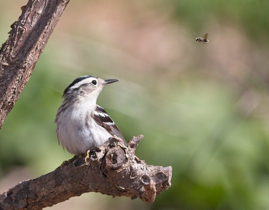 Black and white warbler sizing up breakfast