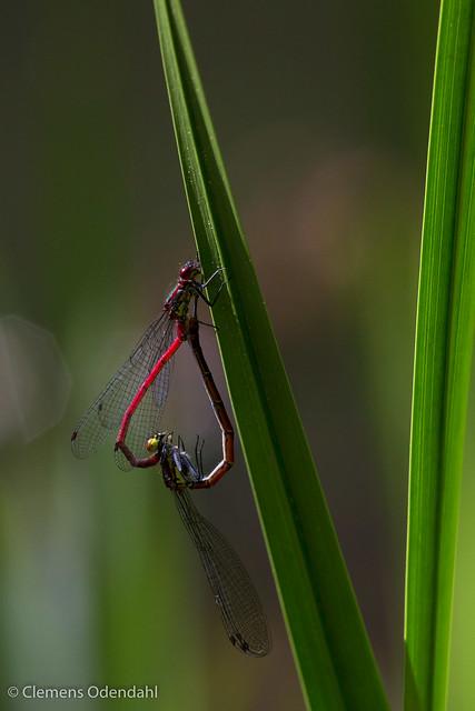 Zwei Libellen während der Paarung