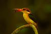 กะเต็นน้อยหลังดำ Black-backed Kingfisher (Oriental Dwarf Kingfisher) - Ceyx erithacus