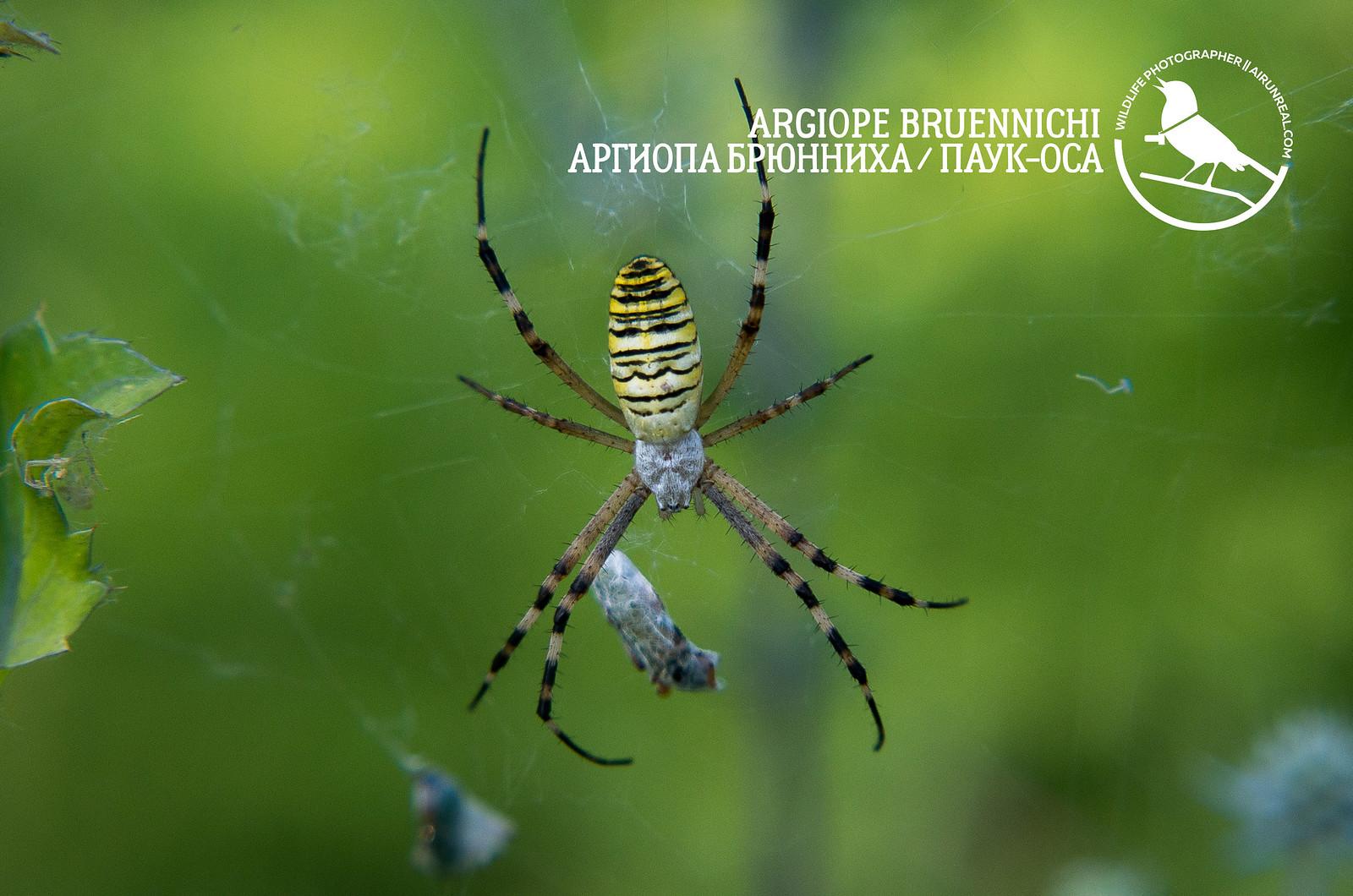 Argiope bruennichi // 20180519