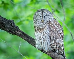 Barrewd Owl Sleeping