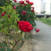 City roses. (Lumix DMC-LX3 sample photo)