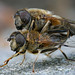 Zwei Gemeine Keilfleckschwebfliegen (Eristalis pertinax) bei der Paarung by AchimOWL