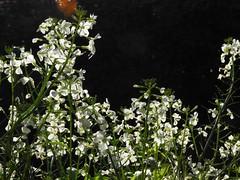 大根の花 2018-10