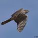 sparrowhawk 8 2018 female