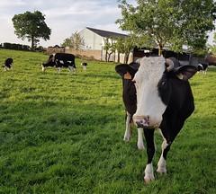 Vache de Serques