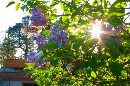 Samish Island Lilacs-002