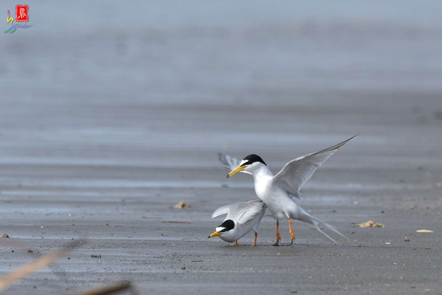 Little_Tern_4343