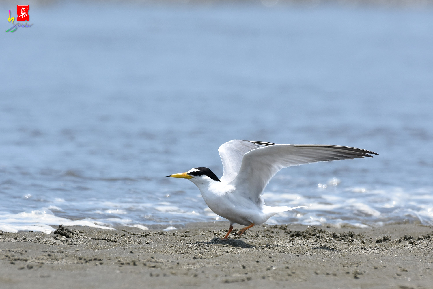 Little_Tern_4600