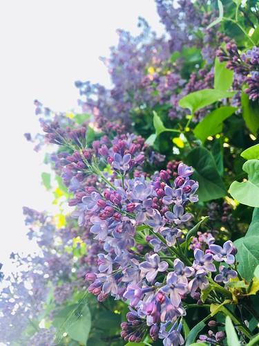 lilacs, may 2018