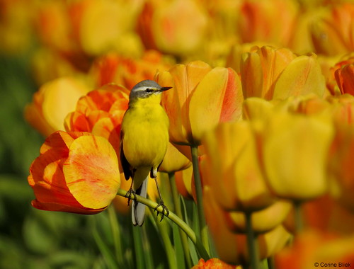 Yellow Wagtail in a tulip field