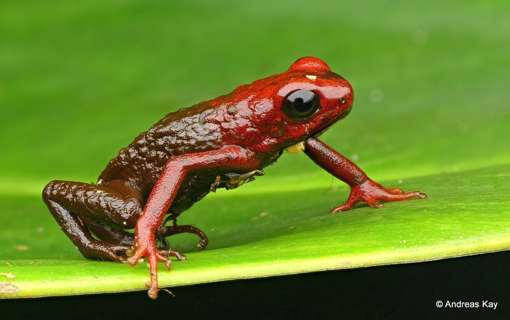 Poison dart frog, Excidobates condor, Dendrobatidae