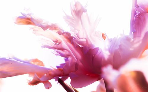 Pink dream por Katja van der Kwast