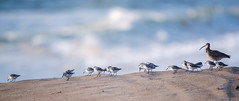 Sanderling with Whimbrel