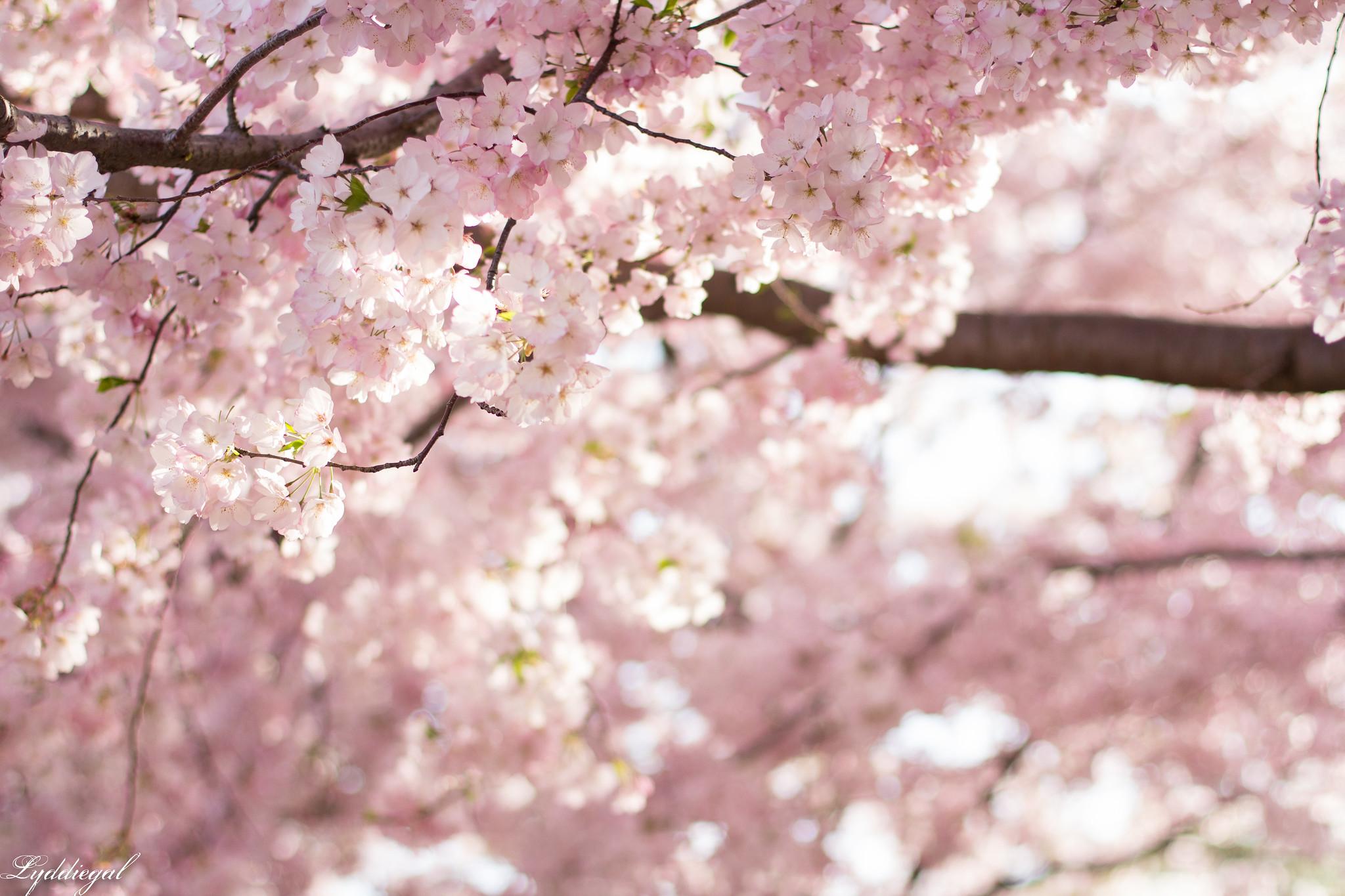 cherry blossoms in the center-1.jpg