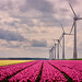 Tulips & Windmills / 05 by Marc Bezembinder