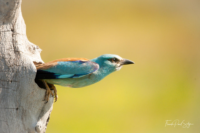 A Roller leaving the nest