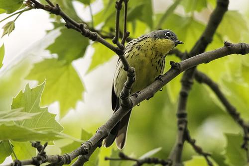 Central Park: Kirtland's Warbler!