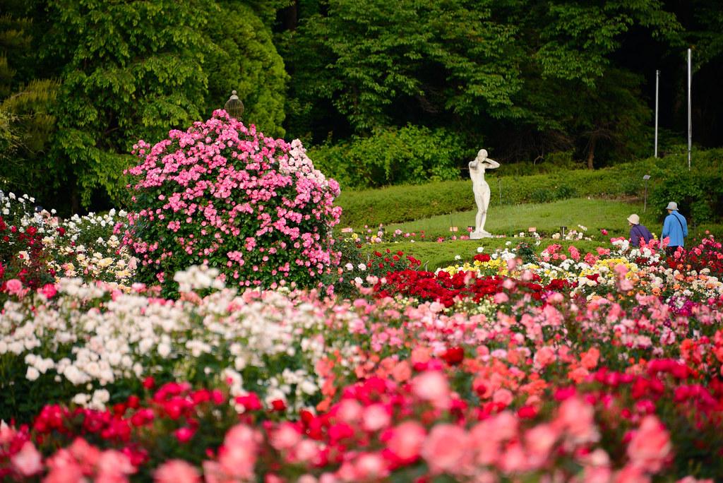 Rose Garden in Jindai Botanical Park 神代植物公園バラフェスタ