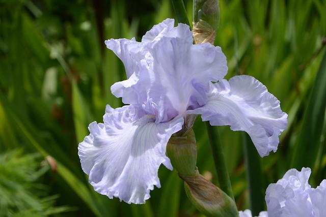 Iris pathologie : virose ou pas virose ? 42176930931_8af9f632b6_z