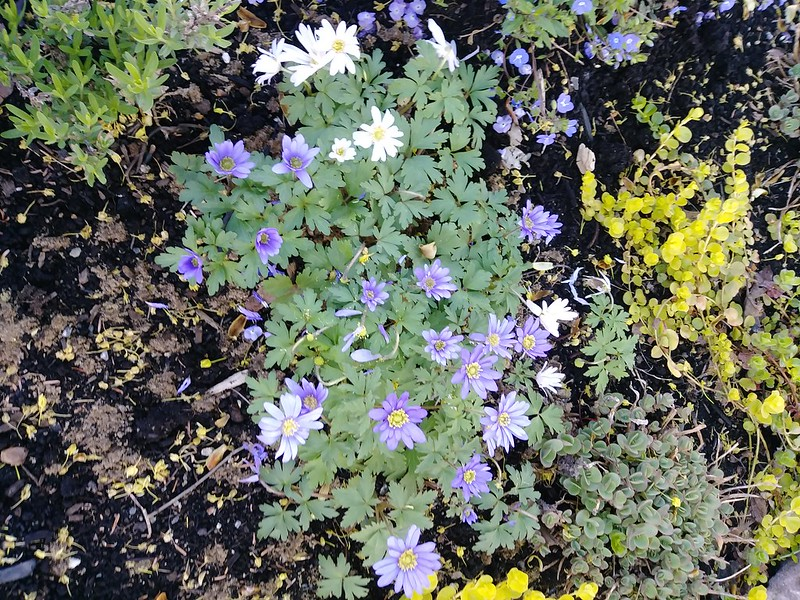 Le jardin de Lavandula 2018 - Page 6 42193001742_1b7e087c1c_c
