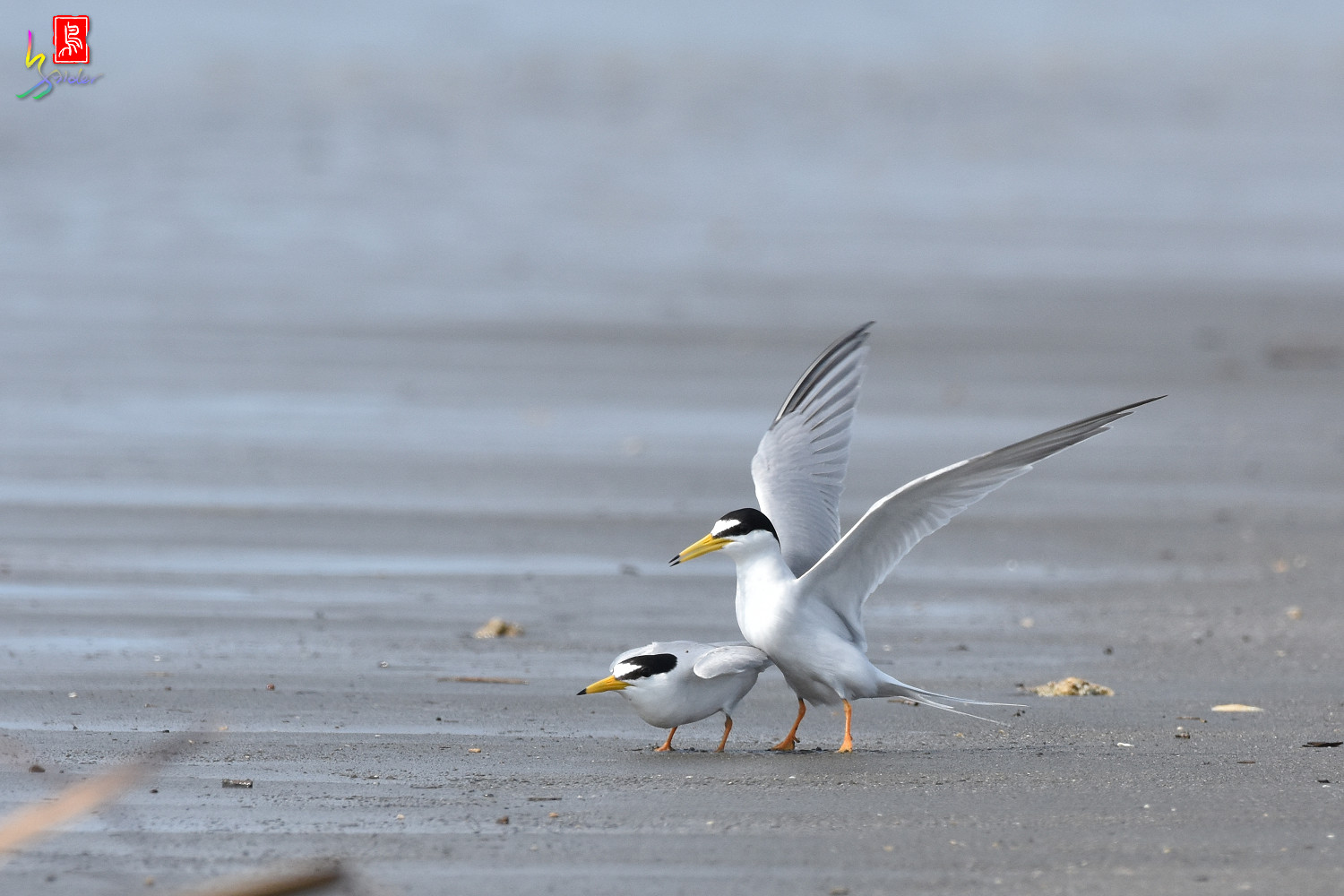 Little_Tern_4387