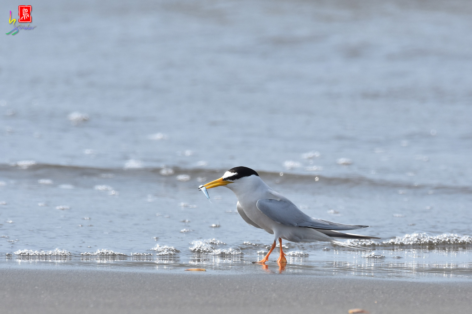 Little_Tern_3958
