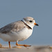 Piping Plover | 2018 - 4