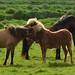 9. Caballos islandeses en una pradera verde
