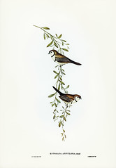 Estrelda annulosa, Gould (Black-rumped Finch) Illustrated by Elizabeth Gould (1804–1841) for John Gould's (1804-1881) Birds of Australia (1972 Edition, 8 volumes). One of the most celebrated publications on Ornithology worldwide, Birds of Australia introd