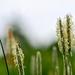 Græs-familien (Poaceae)-1501